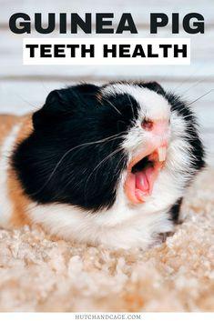 Pet Guinea Pigs, Guinea Pig Care, Pig Teeth, Guinea Pig Information, Pig Breeds, Pigs Eating, Teeth Health, Pet Care, Animal Care