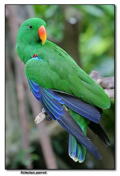 Day 5: bird. (Eclectus Parrot. My parents adopted one and named him Joey. My grandpa found him at a park and the owners wouldn't claim him.)