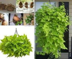 Grow your own sweet potato vine plant! A keeper for the start of the gardening season next year. Frost will soon be wiping out plants where I live. Outdoor Plants, Garden Plants, House Plants, Outdoor Gardens, Porch Plants, Live Plants, Small Gardens, Potted Plants, Container Gardening