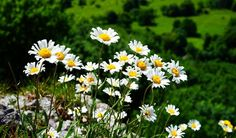 Feverfew - 28 Medicinal Herbs You Need to Have in Your Garden Gardening For Beginners, Gardening Tips, Vegetables For Babies, Deck Planters, Bush Beans, Natural Pain Relief, Garden Trellis, Garden Pests, Flowers Perennials