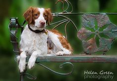 Brittany Spaniel Dog - Take A Seat by Rivamist, via Flickr