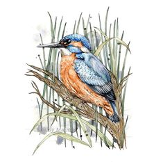 Hey, I found this really awesome Etsy listing at https://www.etsy.com/listing/263013629/kingfisher-watercolour-bird-ink-nature