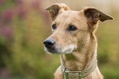Lurcher, Dogs, Animals, Animales, Animaux, Pet Dogs, Doggies, Animal, Animais