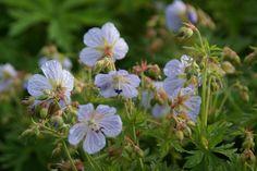 Geranium pratense 'Mrs. Kendall Clark' | SARASTRO Stauden