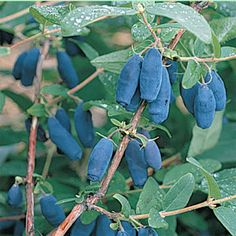 A unisex Honeyberry with white flowers and sweet, tender, bright blue fruit on easy-to-grow plants.