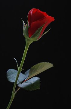 Author, Amanda Grey chose this rose as her logo in the novel, 'The Art of Secrets' www.vickyadin.co.nz