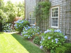 Hydrangeas and trellis for roses on house