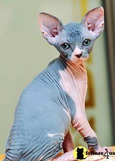 ¿Os gusta mi color de piel?  #Sphynx Kittens #Soydegato
