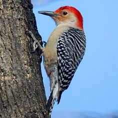The Best Birds for Your Garden:  WOODPECKERS - The downy and hairy woodpeckers get up to 85 percent of their food by chowing down on wood-boring beetle and moth larvae, ants, caterpillars, adult beetles, millipedes, and aphids. - Woodpeckers will eagerly venture into your yard for suet or sunflower seeds in the off-season and eat your pests spring through fall.