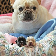 """""""Look what I Made! """" French Bulldog Mother and her Two Puppies."""