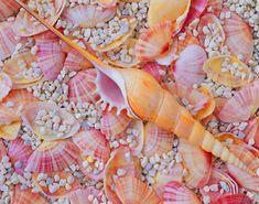 Shells..... Bellos caracoles de mar