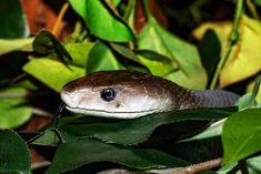 Do Black Snakes Eat Copperheads and Other Snakes?