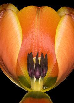 Tulipa 'Adrem' by Brian Haslam