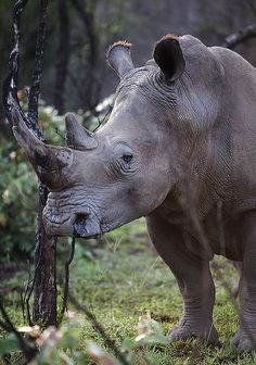 ~~Bush Portrait ~ White Rhinoceros or Square-lipped rhinoceros / Breitmaulnashorn (Ceratotherium simum) by AnyMotion~~