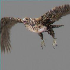 Hawk Animated