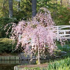 Weeping Cherry Tree < Growing Cherry Trees – Southern Living Source by sxmabernathy Weeping Trees, Plants, Tree Seedlings, Landscape Design, Dwarf Trees, Dream Garden, Growing Tree, Weeping Cherry Tree, Flowering Trees