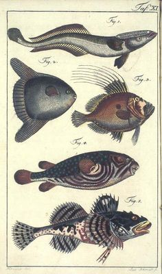 Details of the picture / Pictura Paedagogica Online Fish Chart, Kunst Poster, Wale, Vintage Fishing, Marine Life, Figure Painting, Natural History, Creatures, Drawings