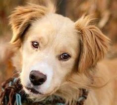 Meet Sartre, a Petfinder adoptable Golden Retriever Dog | Baltimore, MD | SARTRE NEEDS A FOSTER OR LOVING FOREVER HOME!!!Fosters make it possible for Dogs XL to save and...