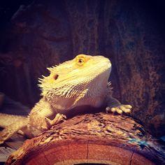 Buddy the Beardie on a Sunday afternoon. #misterfitshace #mr_fitshace #fitshace #mister_fitshace #mr_fitshace #beardeddragon #lizard #dragon #beardiebuddy #buddy #reptile #scales #sunday #mf #november #2014