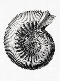 Ammonite Old image Fossil Vintage illustration by AntiqueStock Old Images, Vintage Images, Create Wedding Invitations, Ernst Haeckel, Gravure, Amber Fossils, Shapes Images, Botanical Illustration, Clipart