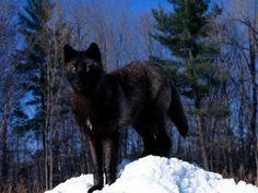 Schwarze Wolf