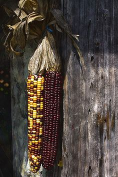Indian corn for fall decorating