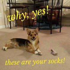 My little Pekingese-Boston Terrier, Mocha, steals my socks all the time!