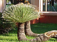 Dasylirion acrotrichum - Rabo-de-dragão, Dasilírio - planta suculenta de porte arbustivo. As folhas são suculentas, fibrosas, lineares, com margens cobertas de espinhos e extremidades espigadas. Deve ser cultivado sob sol pleno, em solo fértil, perfeitamente drenável.