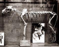 Dog Skeleton Print Police Dog Hero Argentina  - by Lost Kat Photo lostkat.com