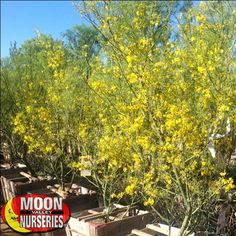 museum palo verde 1299 blockbuster museum palo verdes 30 35 box these trees reach between 10 14 feet tall planted height - Garden View Nursery