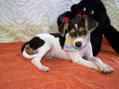 Meet Mindy Lou, an adopted Italian Greyhound & Chihuahua Mix Dog, from Richardson Rescue in York, SC on Petfinder. Learn more about Mindy Lou today. Rescue Puppies, Chihuahua Mix, Italian Greyhound, Adoption, Dogs, Animals, Foster Care Adoption, Animales, Animaux