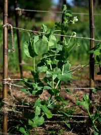 snow pea support