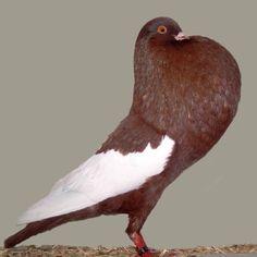 Was für eine Art von Tauben ist das? Kropftauben Als Kropftauben oder Kröpfer wird eine Gruppe der Rassetauben bezeichnet, die sich von anderen Haustauben durch eine aufrechte Körperhaltung und ihren großen Kropf, den sie mit Luft füllen können, unterscheidet.