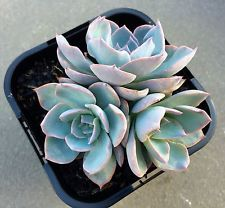 Echeveria 'Morning Beauty' Cluster in 10cm pot succulent plant