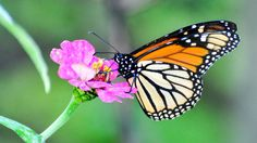 12. Monarch Butterflies, Pacific Grove