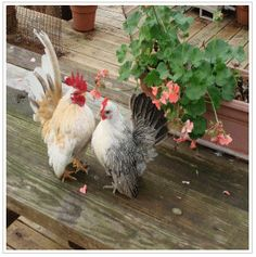 World's smallest chickens! Serama breed from Malaysia ~ too cute! Can't wait till my chicks get big enough to pose. Live Chicken, Chicken Chick, Small Chicken, Chicken Humor, Chicken Runs, Serama Chicken, Bantam Chicken Breeds, Bantam Chickens, Chickens And Roosters