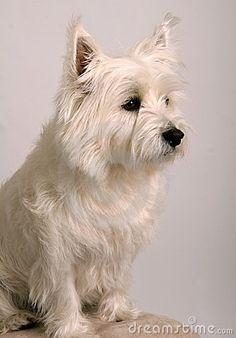 West Highland White Terrier Breed Information & Pictures (Westies) Highlands Terrier, West Highland Terrier, Westie Puppies, Westies, Non Shedding Dogs, West Highland White, White Terrier, Small Dog Breeds, Scottie Dog