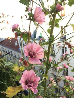 Alcathea suffrutescens 'Parkfrieden', Malvacées, sur mon balcon en automne, Paris 19e - my absolute favorite.