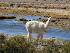 Neugieriges Lama im Nationalpark