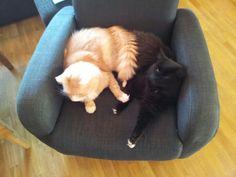 My cats Corgi, Cats, Animals, Corgis, Gatos, Animales, Animaux, Animal, Cat