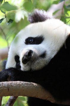 Panda taking a long earned rest