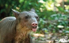 Cholita the Andean Spectacled Bear is a surviving victim of the circus industry. This bear spent over a decade living in a small, defunct circus in Peru.