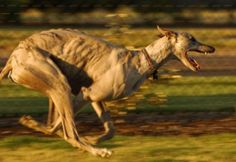 When i can afford a dog, me and my hypothetical greyhound will jog around the park being funny looking together.