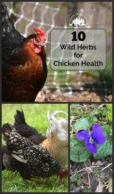 10 Wild Herbs for Chicken Health - Timber Creek Farm