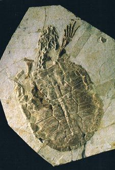 A prehistoric freshwater turtle from the famous Liaoning fossil deposits of China.