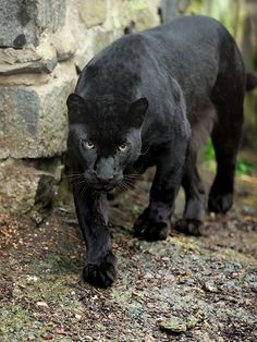 Wow what a beautiful black panther Black Animals, Animals And Pets, Cute Animals, Wild Animals, Panther Cat, Black Panther, Beautiful Cats, Animals Beautiful, Beautiful Pictures