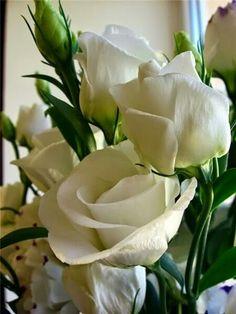 Linda rosa branca,