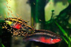 Аукцион aquaforum » Pelvicachromis pulcher (краснопузый) подростки 10шт