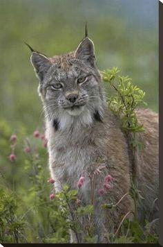 Stretched Canvas Print: Canada Lynx portrait, North America by Tim Fitzharris : 30x20in