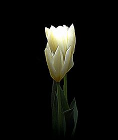 Two White Tulips by Lynn Bolt